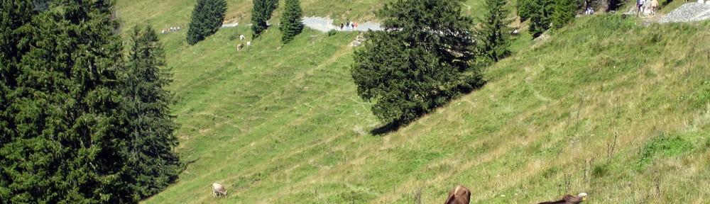 Bergwiese mit Kühen