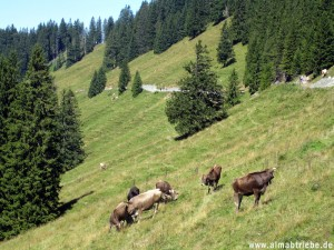 Almabtrieb in Söll, Tirol (Wilder Kaiser)
