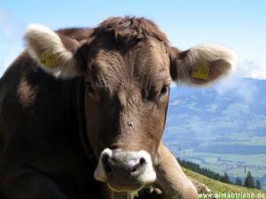 Kuh 03-300x225 in Alpabtrieb mit Bauernmarkt in Tschagguns im Montafon, Vorarlberg