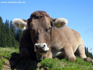 Kuh 10-300x225 in Almabtrieb in Ritten, Südtirol