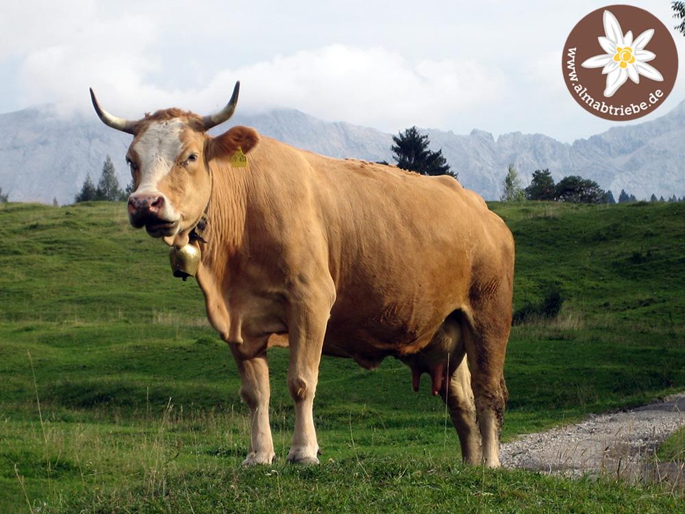 Aufmerksame Kuh