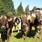 Kuhgruppe beim Almabtrieb bzw. Viehscheid